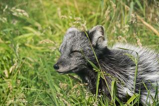 Arctic Fox ~ Explored
