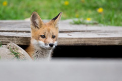Red Fox Kit(s) (Scott Weberpal) Tags: fox red kit baby wildlife animal vulpes canon