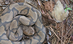 Copperhead (cre8foru2009) Tags: agkistrodoncontortrix copperhead snake herping georgia nature reptile