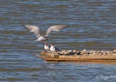 Un pour deux... (Rgis B 31) Tags: charadriiformes commontern larids sternahirundo sternepierregarin bird oiseau