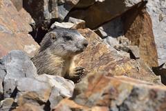 Marmota marmota, portrait (G. Pottier) Tags: marmota gourette anglas