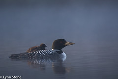 Common Loon (Gavia immer) with chick, at dawn; New Hampshire (lmstonenhp1) Tags: inspirations lakeview loons newengland newhampshire psalms