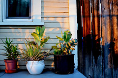 home grown (diegosevillaphoto) Tags: plants pots light nice beauty home peace losangeles