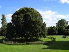 Protected Tree at Rufford Abbey Country Park. Sept 2016 (SimonHX100v) Tags: trees tree ruffordcountrypark ruffordabbeycountrypark ruffordabbey rufford nottingham nottinghamshire outside outdoors sonyhx100v simonhx100v september september2016 england nottinghamshirecountycouncil englishheritage