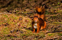 Red Squirel (pattzi) Tags: red squirel