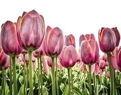 Tesselaar Tulip Festival (phunnyfotos) Tags: phunnyfotos austrralia vic victoria colour flowers tulips pink pinkflowers nikon d750 silvan dandenongs thedandenongs dandenongranges