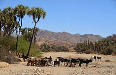 Halega River (Eritrea) - Cows (Danielzolli) Tags: halega engerne akurdet eritrea  ertra erythre  erythrea  eritra habesha gash barka gashbarka gashsetit fluss river rivire rzeka rijeka reka rio fiume bahr palm palmera cow kuh palme khe herd herde kuhherde