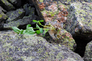 A Pika's work is never done!