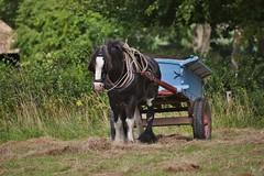 Weald & Downland Museum 22 August 2016 036 (paul_appleyard) Tags: weald download open air museum shire horse cart