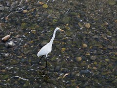 Great egret () (Greg Peterson in Japan) Tags: ritto shiga yasugawa rivers japan wildlife birds egretsandherons deba shigaprefecture jpn