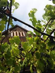 Aspettando l'autunno (martini_bianca) Tags: haus weinstock himmel wein trauben blau martinibianca