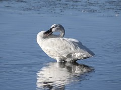 Trumpeter Swan (David Badke) Tags: colwood bc canada ca bird