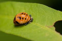 Lady Bug (benevolentkira7) Tags: lady bug ladybug ladybeetle beetle orange black spots spikes spikey small macro tiny flying insect insects bugs