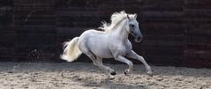 Helen Burgess 3 (marylouiseshoemaker) Tags: horse horses stallion