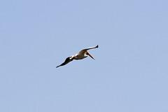 American White Pelican (psychostretch) Tags: americanwhitepelican animal bird pelecanuserythrorhynchos pelican pineridgenaturalarea