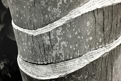 Simryn Gill - detail of photograph (juliensart) Tags: simryn gill simryngill art kunst photography fotografie nature natuur leaves text printed gedrukt gedrukte tekst word woord woorden zwart wit zwartwit balckandwhite black white juliensart exhibition expo tentoonstelling museum gent ghent flanders belgium msk schone kunsten papier paper paperwork