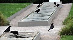 Carrion Crow, Corvus corone (asterisktom) Tags: carrioncrow crow corvuscorone karlsruhe 2016 trip2016kazakheuro july germany bird vogel ave 鸟 niao птица 鳥
