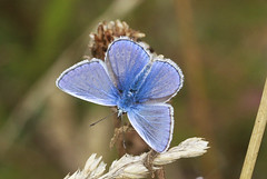 Common Blue Butterfly (Prank F) Tags: cambourne wildlifetrust cambsuk wildlife nature insect macro closeup butterfly common blue
