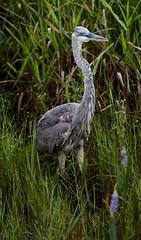 Aug 31 201610935 (Lake Worth) Tags: animal animals bird birdwatcher birds canonef500mmf4lisiiusm canoneos1dxmarkii everglades feathers florida nature outdoor southflorida waterbirds wetlands wildlife wing
