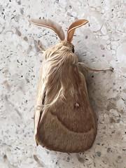 Falena Volpe - Macrothylacia rubi (Valentina°°°) Tags: falena