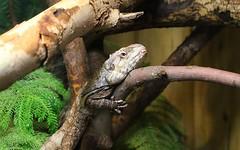 Resting Frilled Lizard (praja38) Tags: frilledlizard lizard nature wild life wildlife caps cap capricorn humour torontozoo zoo toronto ontario canadian canada reptile resting australian frill dragon frillednecklizard frilled agama frilledagama