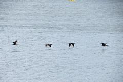 Flight of the Ducks (austinjames506) Tags: ducks watson lake prescott arizona hiking flight