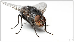 Fly On White (Jon.1972) Tags: eos 7d macro mp65 speedlight diffused softbox fly 430 ex ii