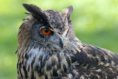 Birds of Prey (Tom Tiger) Tags: owl uil nature bos forrest red eye piel roofvogel