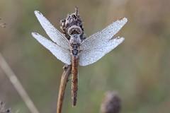 comp_IMG_6697 (geraldtourniaire) Tags: outdoor natur morgentau tau 6d 100l canon insegt libelle macro dragonflies