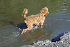 2719 (Jean Arf) Tags: ellison park dogpark rochester ny newyork september autumn fall 2016 poodle dog standardpoodle gladys water wet pond play