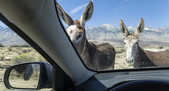 Ambushed (socaltoto11) Tags: donkeys california395 animals mountains mountainranges mountainsettings canonphotography california californialandscapes californiamountainranges ambushed sierranevadamtrange hostage rearview hungry westcoast westcoastlandscapes westcoastmountainranges
