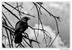 Backlit Crow (evangelos K) Tags: park nature birds louisiana unitedstates backlit crow metairie natureplus lafrenierepark crazyaboutnature 70400g