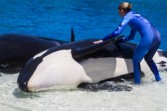 """""""Ah, my human always knows just how to scratch me."""" (maskirovka77) Tags: whale orca trick splash killerwhale stunt orcinusorca soakzone whaleshow"""