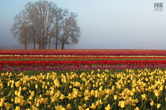 Tulips at fogrise (Ian Sane) Tags: flowers red sun colors field yellow festival fog oregon sunrise ian shoe wooden purple tulips farm burgundy country images monitor agriculture rise sane woodburn at fogrise