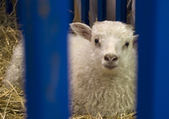 Watching (Ragnvaeig) Tags: md sheep maryland howardcounty westfriendship marylandsheepandwool howardcountyfair mdsheepandwool