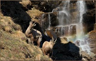 --- Stambecchi --- Ceresole Reale (Parco del gran Gran Paradiso - Piemonte - Torino)