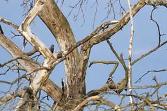Syrian Woodpecker / Dendrocopos syriacus /    (Panayotis1) Tags: birds canon aves greece animalia chordata piciformes dendrocopos picidae syrianwoodpecker dendrocopossyriacus canonef400mmf56lusm imathia   66 tafros66  kenkopro300afdgx14x