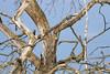 Syrian Woodpecker / Dendrocopos syriacus / Δενδροκόπος ο συριακός (Panayotis1) Tags: birds canon aves greece animalia chordata piciformes dendrocopos picidae syrianwoodpecker dendrocopossyriacus canonef400mmf56lusm imathia πουλιά ημαθία τάφροσ66 tafros66 δενδροκόποσοσυριακόσ kenkopro300afdgx14x