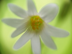 Inadvertant arty shot! (Boulthamjohnny) Tags: abstract flower macro nature beauty ar olympus outoffocus lincoln softfocus konica camerashake 43 evolt aberration hexanon e500 fourthirds whisby