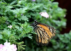 epcot-flower-garden-butterfly (funmamas) Tags: disneyworld disneyanimalkingdom disneyepcot disneymagickingdom waltdisneyworldresort disneythemeparks waltdisneyworldflorida disneyhollywoodstudios livingdisneycom
