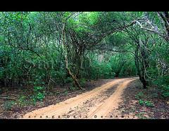 Wilpaththu Greenery (Sara-D) Tags: park nature asia sl sri lanka national srilanka ceylon lk southasia sarad wilpattu saranga sarangadevadealwis wilpattunationalpark sarangadeva
