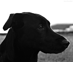 Bobby (somnium_ars) Tags: portrait blackandwhite dog pet animal nose mix eyes labrador head ears dackel dachshound