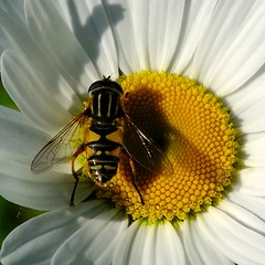 Nature's Beauty (X-S1 Dave) Tags: summer garden fuji hoverfly fakenham sculthorpe northnorfolk hs30exr