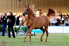 Adr018 (Adr7manCam) Tags: horses horse nikon hq adr d300 2011       abdulrahman  k5a  alhaqbani  adr7man adr7mancam  0500004936 adrhman