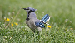 Blue Jay (Tony Tanoury) Tags: wild bird nature animal closeup fauna bill michigan wildlife ngc beak feather bluejay ornithology birdwatching avian cyanocittacristata supershot specanimal