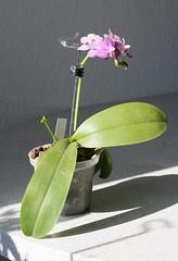 "Doritaenopsis ""Purple Martin"" (blumenbiene) Tags: flowers plant orchid flower purple martin pflanze phalaenopsis phal orchidee blte blten doritaenopsis"