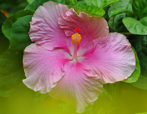 Flickriver: Photoset ' Nature, Flowers, Hibiscus & Hollyhock' by