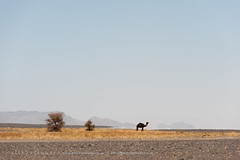 Camel (Alex Treadway) Tags: africa sky sahara nature animal animals standing landscape outdoors bush sand solitude day desert northafrica space dry nopeople hills camel morocco journey single drought heat lone wildanimal bigsky remote copyspace exploration workinganimals barren vacations scrub arid isolated rugged sparse scenics clearsky vastness distant scorched singular openness vast merzouga tranquilscene westernsahara waterless saharadesert ergchebbi camelid heathaze traveldestinations scrubland beautyinnature nonurbanscene remotearea extremeterrain animalthemes hassilabied horizonoverland meknèstafilalet onecamel typicallymoroccan