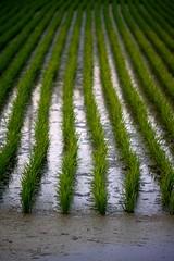 稲 (jasohill) Tags: city green nature japan rural rice paddy farm iwate 日本 growing 自然 岩手県 2012 田んぼ hachimantai 稲 八幡平市 ringexcellence gettyimagesjapan12q3