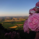"Rose with Tuscan Countryside <a style=""margin-left:10px; font-size:0.8em;"" href=""http://www.flickr.com/photos/14315427@N00/7511898434/"" target=""_blank"">@flickr</a>"